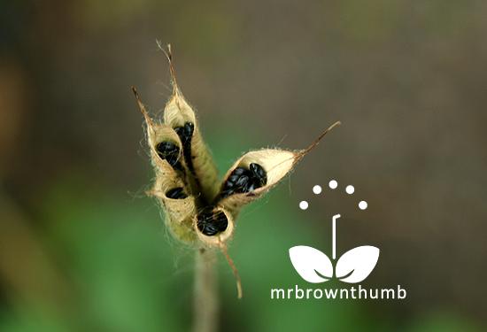 Ripe columbine seed pod