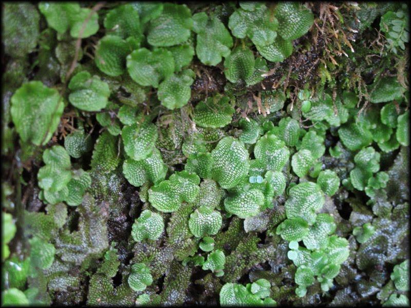 Conocephalum conicum alligator or snake skin liverwort