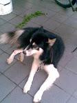 爱犬Niki