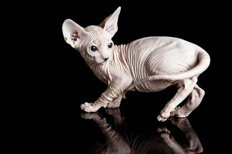 images of munchkin cat