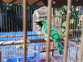 Galeri Burung Berkicau: Cucak Hijau (Suku PYCNONOTIDEA)