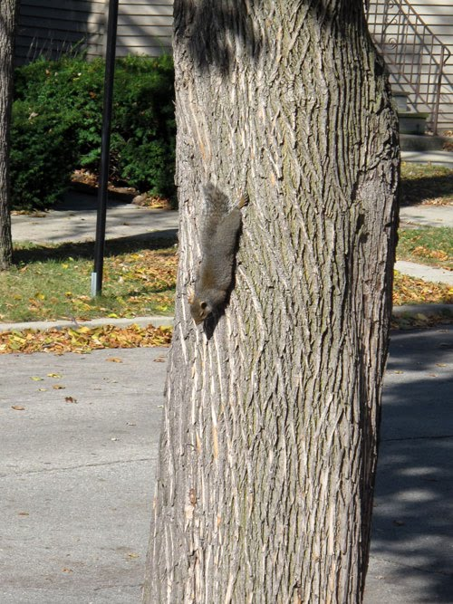 gray squirrel sunbathing