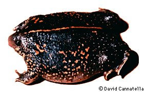 rhinophrynus.dorsalis.jpeg