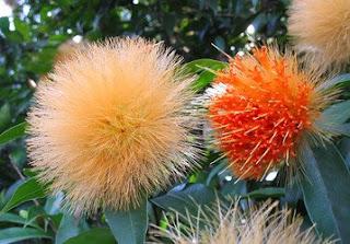 stifftiachrysantha.250a.jpg