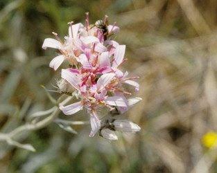 hyalis.250a.jpg