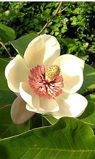 250px-Magnolia_Watsoni.JPg