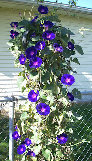 purple morning glories by the fence in the backyard