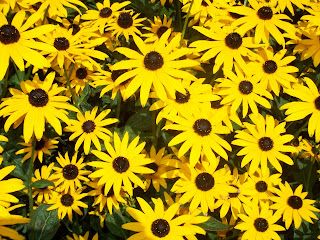 cluster of black eyed Susans on the east side of our house