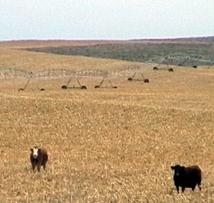 Cabezas de ganado y Pivot central