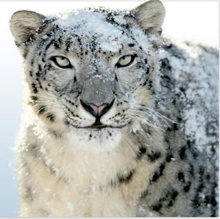 Image of snow leopard animal (Apple's Snow Leopard)