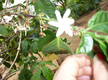Florada do nosso pé de café
