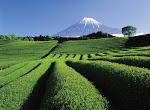 På teplantagen