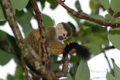 Titi Monkeys of Manuel Antonio