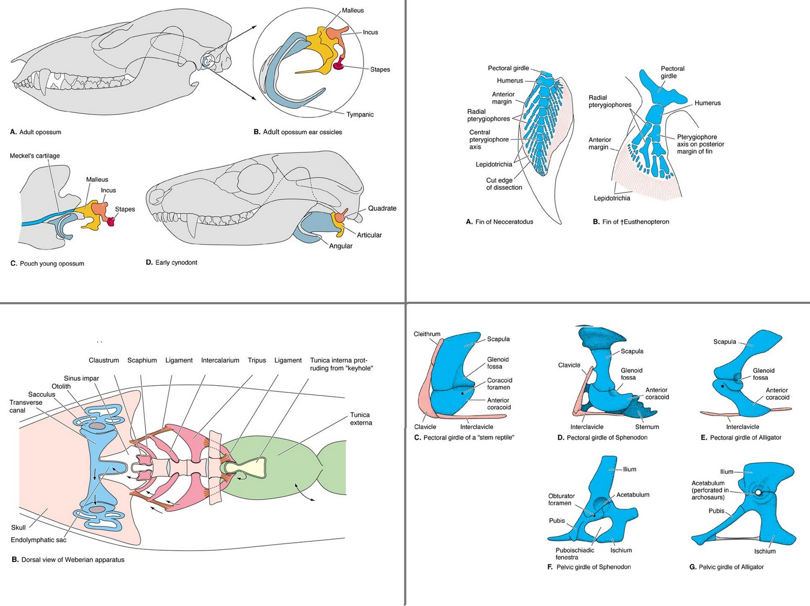Functional anatomy of the vertebrates