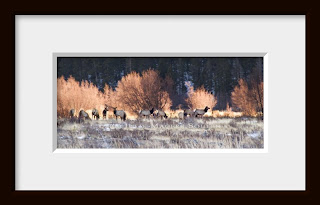 A framed photo of As the sun begins to set behind the nearby moraine in Rocky Mountain National Park the North American wapiti, or elk, begin to settle down for the night as the sunset lights the willow birch behind them.