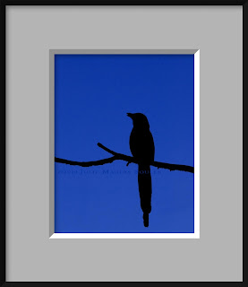 A framed photo of a black silhouette of a black-billed magpie perched on a single branch and set on a background of a deep azure evening sky.