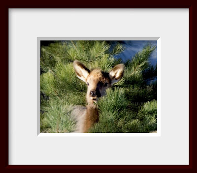 A framed photo of a baby elk peeking out from behind a pine sapling.
