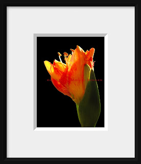A framed photo of an amaryllis bud in flaming colors of red, orange and yellow emerges into the spring light.