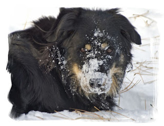 A black dog playing in the snow has snow all over his face.