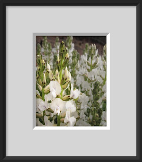 The delicate spires of white blossoms of the locoweed plant.