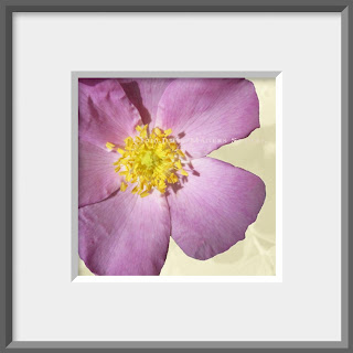 A pink petaled wild rose with golden yellow stamens.