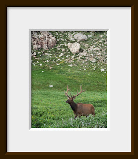 Bull elk in alpine meadow in Rocky Mountain National Park, Colorado.