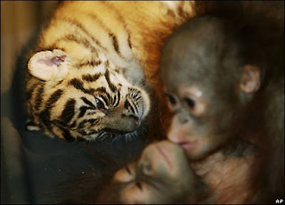 Tiger cub kissing Orangutans