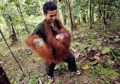 Orangutans clinging to a man