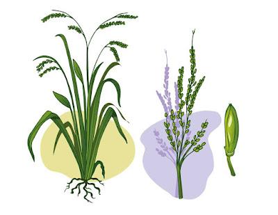 ilustracion arroz