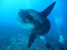 Nusa Penida Oceanic Sunfish