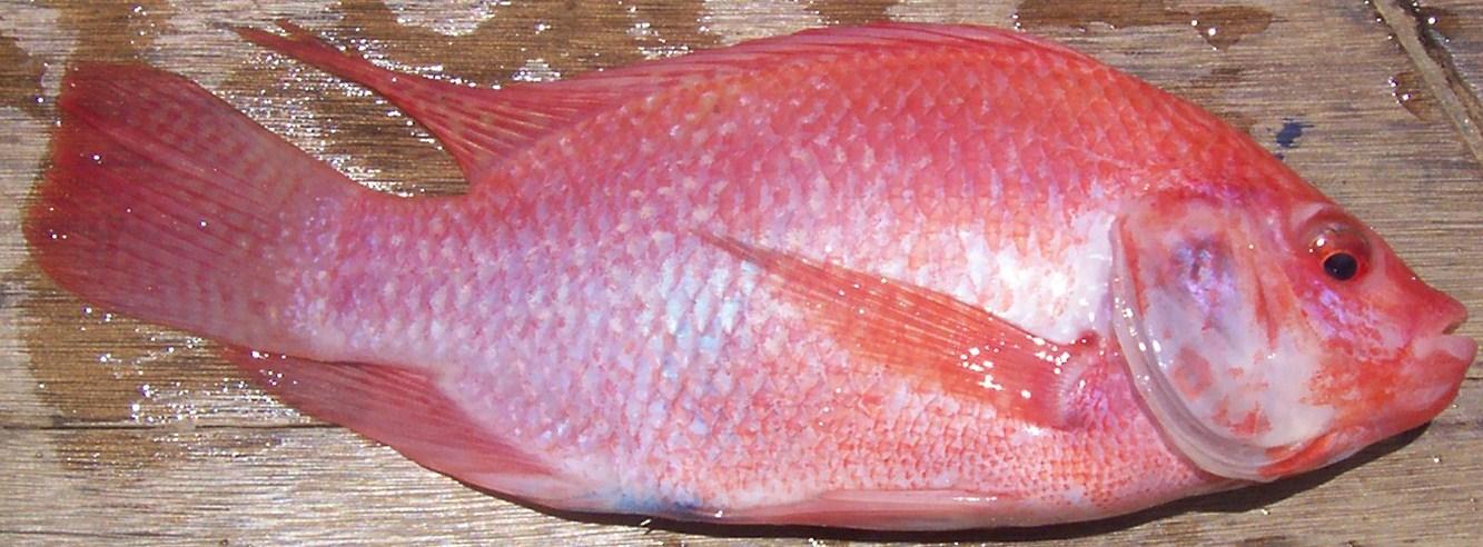 Aquagen piscifactor a tilapia roja for Proyecto de piscicultura mojarra roja