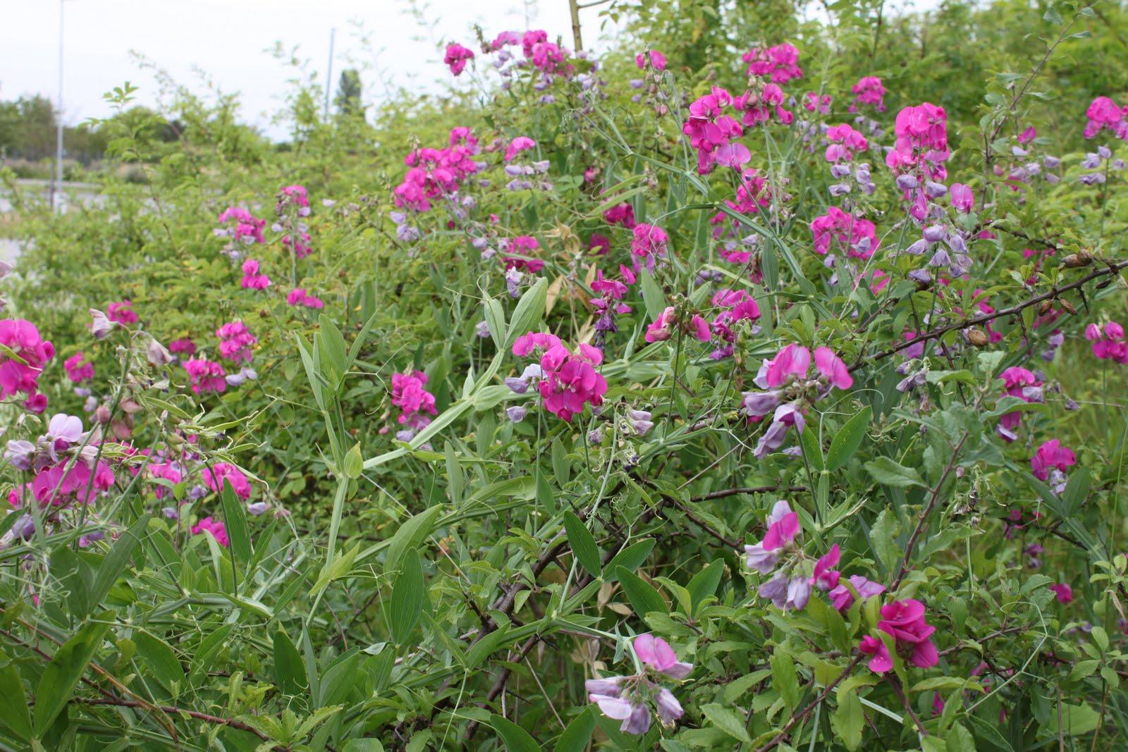 vanliga vilda blommor