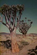quiver tree  Nam