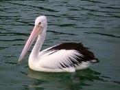 pelican   Oz