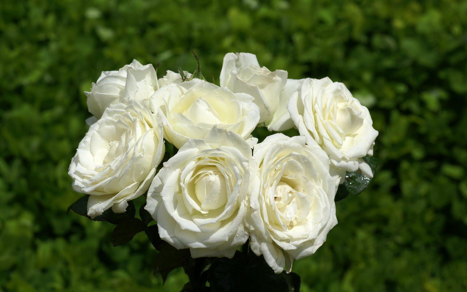 http://4.bp.blogspot.com/_BEyQraI-KQQ/SxSwtfDgjXI/AAAAAAAADtE/OJ6kCLK_0Mk/s1600/roses-dsc02449.jpg