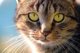 Olhar de um gato