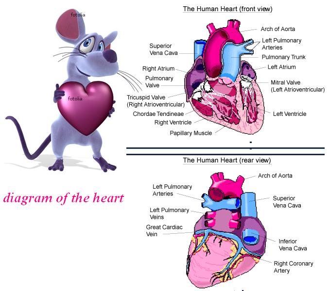 online physics tutors diagram of the heart