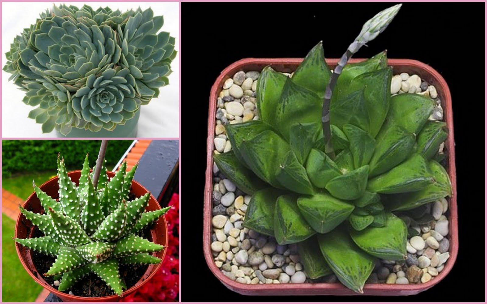 Many types cactus and succulent plants pinterest for Succulent plants representative species