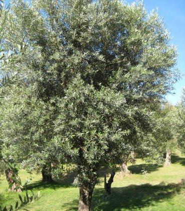 Uno de los 200 arboles de Olivo