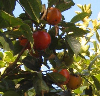 Frutos del caqui