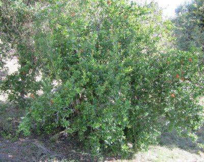 Arbusto de Granada