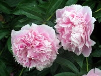 http://4.bp.blogspot.com/_BML7OXkGG78/SCSIz9SavYI/AAAAAAAAAIA/FQZTdl8M1uY/s200/flores-peonia.jpg