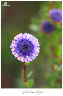 Flores de Primavera, Alypum