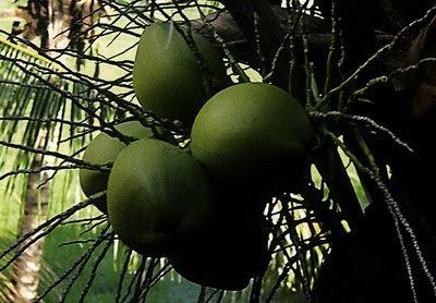 Kelapa (Coconut)