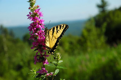 Butterfly on Crotched Mt.