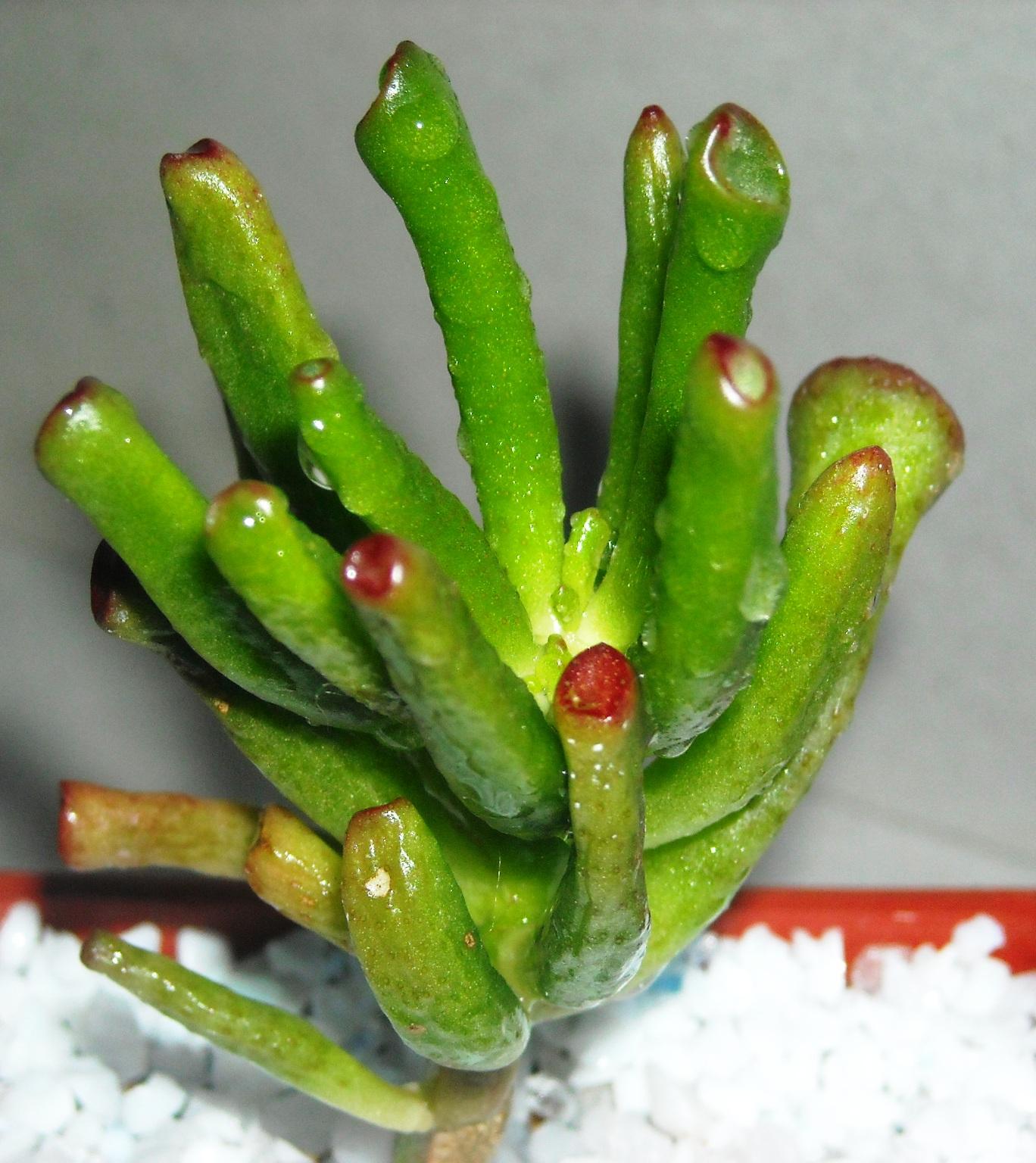 Cactus y suculentas de los totitos crassula ovata hobbit for Cactus variedades fotos