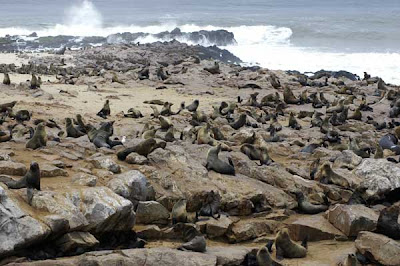 cape cross fur seals or Arctocephalus pusillus