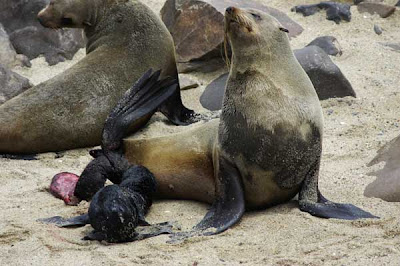 cape cross fur seal placenta namibia
