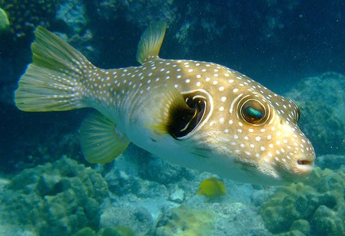 Freshwater puffer fish for Freshwater tropical fish for sale