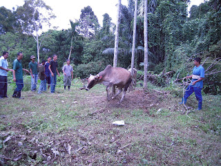 menumbang lembu